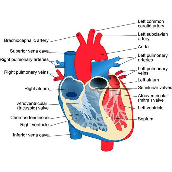 image about Printable Heart Diagram called Center Diagram #1 Blood Stream Exercise Anatomy Human Human body Biology Science Health-related Chart Trainer Poster .SVG .EPS Vector Cricut Slice Reducing Document