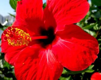 Hibiscus Flower Etsy