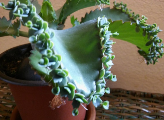 Kalanchoe Laetivirens Mother Of Millions Mother Of Thousands Etsy