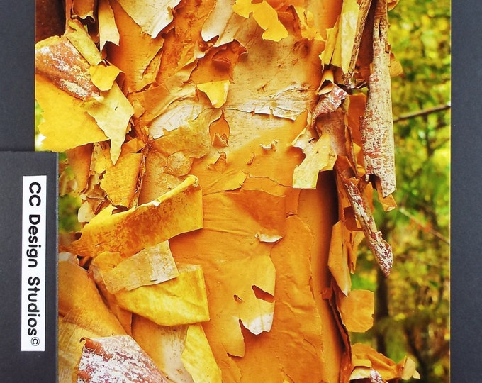Fine Art Photography - Nature Series Trees / Titled 'Birch Bark' / for Office-Home Wall Art Collection / Full Color 8x10 Photo