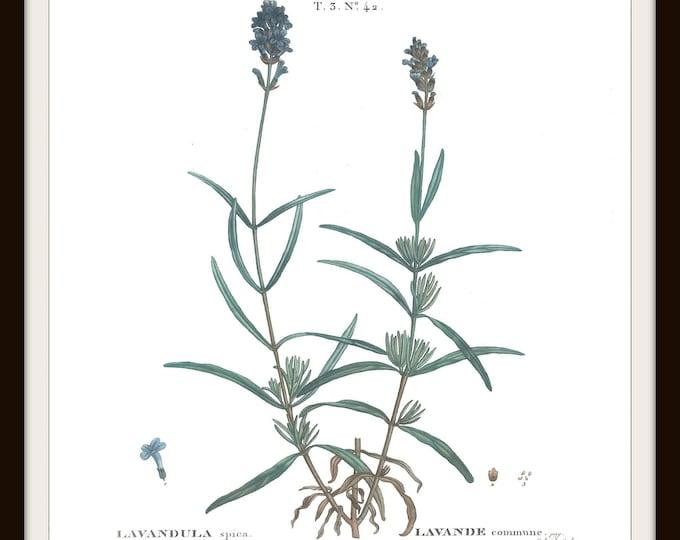 Botanical Print, Instant Download, Printable, Lavender, Vintage Floral, Illustration, Plant, Home Decor, Cottage decor, Herb, Flower