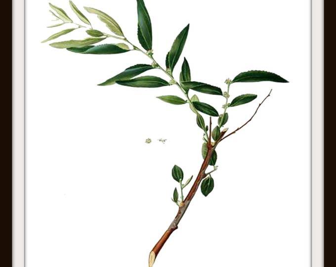 Botanical Illustration, Plant, Jujube, Printable Art, Botanical Wall Decor, Instant Download,Digital Download, Graphic