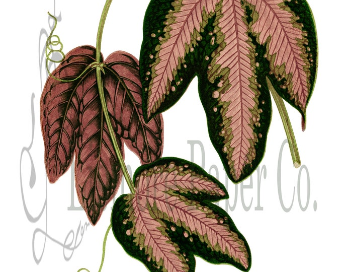 Botanical Illustration Green and Pink Passion Vine Leaf Clipart Digital Download for Crafts Wedding Invitations Decoupage Collages Wall Art