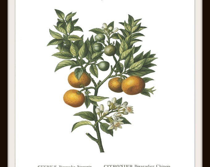 Botanical Print, Instant Download, Printable, Orange, Fruit, Vintage Floral, Illustration, Plant, Tree, Home Decor, Cottage decor,