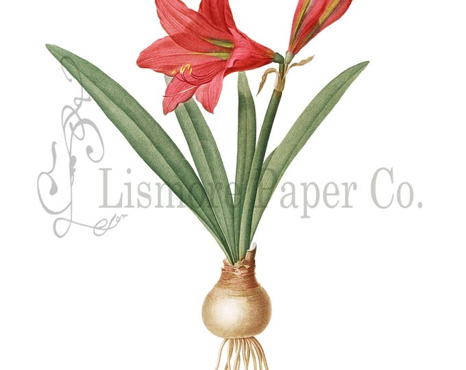 Red Amaryllis Print, Amaryllis Illustration, Botanical Decor, Flower Decor, Digital Art, Printable Art, Instant Download, Architecture Decor
