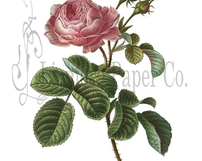 Cabbage Rose Print, Rose Illustration, Botanical Decor, Flower Decor, Digital Art, Printable Art, Instant Download, Architecture Decor,