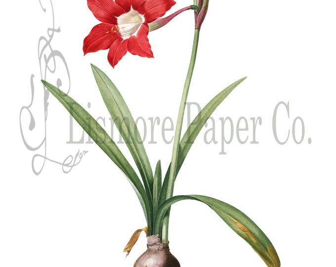 Barbados Lily, Lily Illustration, Botanical Decor, Flower Decor, Digital Art, Printable Art, Instant Download, Architecture Decor