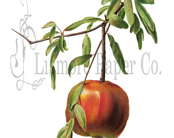 Pomegranate Print, Fruit Illustration, Botanical Decor, Cottage Decor, Digital Art, Printable Art, Instant Download, Vintage Paper, Craft
