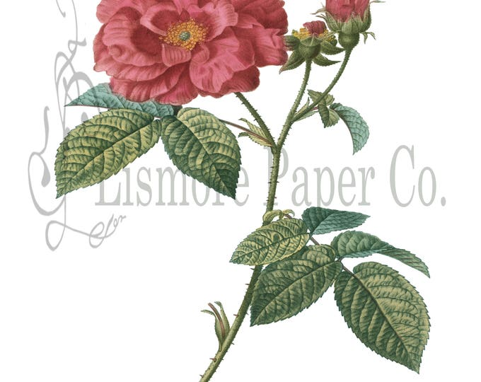 French Rose Print, Rose Illustration, Botanical Decor, Flower Decor, Digital Art, Printable Art, Instant Download, Architecture Decor, Craft