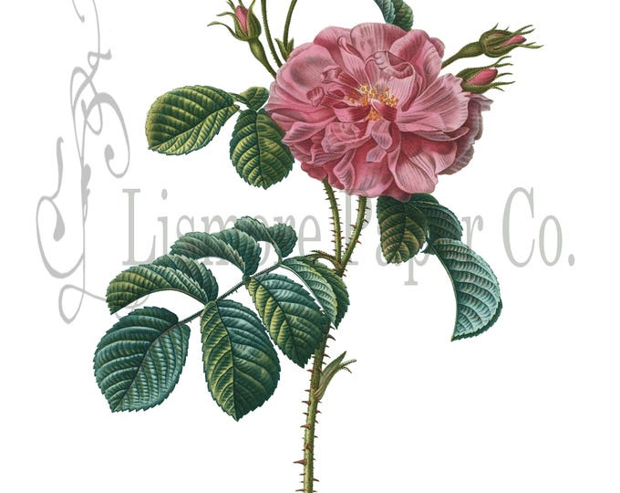 China Rose Print, Rose Illustration, Botanical Decor, Flower Decor, Digital Art, Printable Art, Instant Download, Architecture Decor, Craft