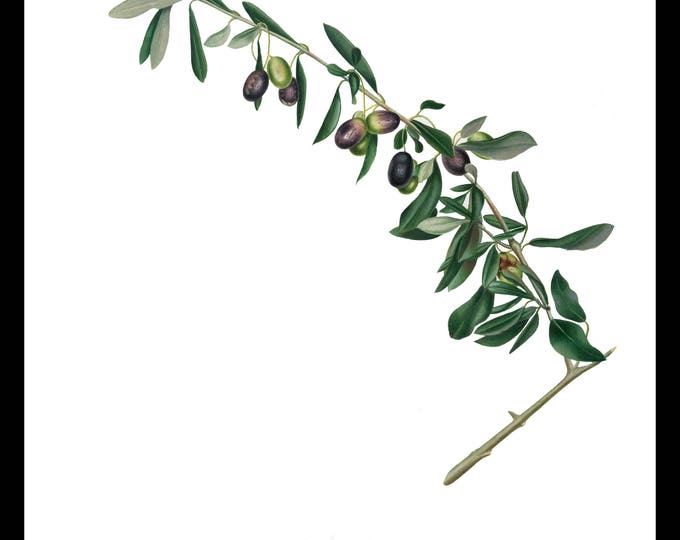 Instant Download, Botanical, Olive Branch, Printable Art, Botanical Wall Decor, Instant Download,Digital Download, Graphic, Craft
