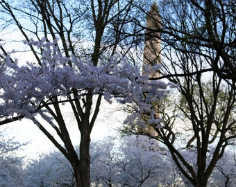 DC Cherry Blossom, Flower Photo, Metal Print, Washington DC, Monument, Pink, Photography, Dreamy, Pretty, Fine Art- DC Cherry Blossoms