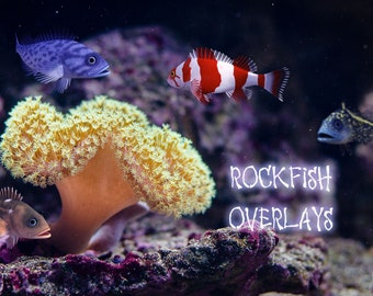 15 Rock Fish Overlays, Separate Png Files, High Resolution, Instant Download, Buy 3 get 1 free, CUOK.