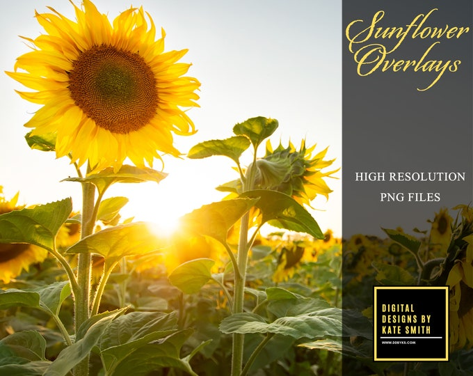 Sunflower Overlays, Separate PNG Files, High Resolution, Instant Download, Buy 3 get 1 free, CUOK.