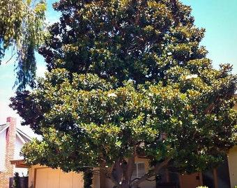 Little Gem Southern Magnolia 3 Gallon