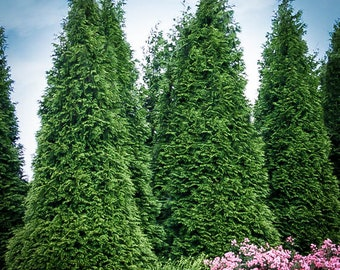 Thuja Green Giant 5 Foot Plus