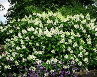 Tardiva White Hydrangea 3 Gallon