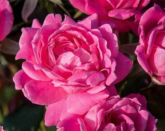 Double Pink Knockout Rose 3 Gallon