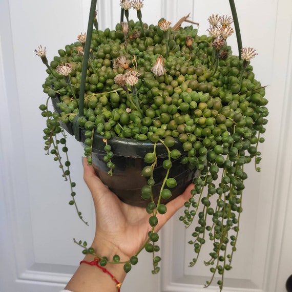 string of pearls succulent - HD1500×1500