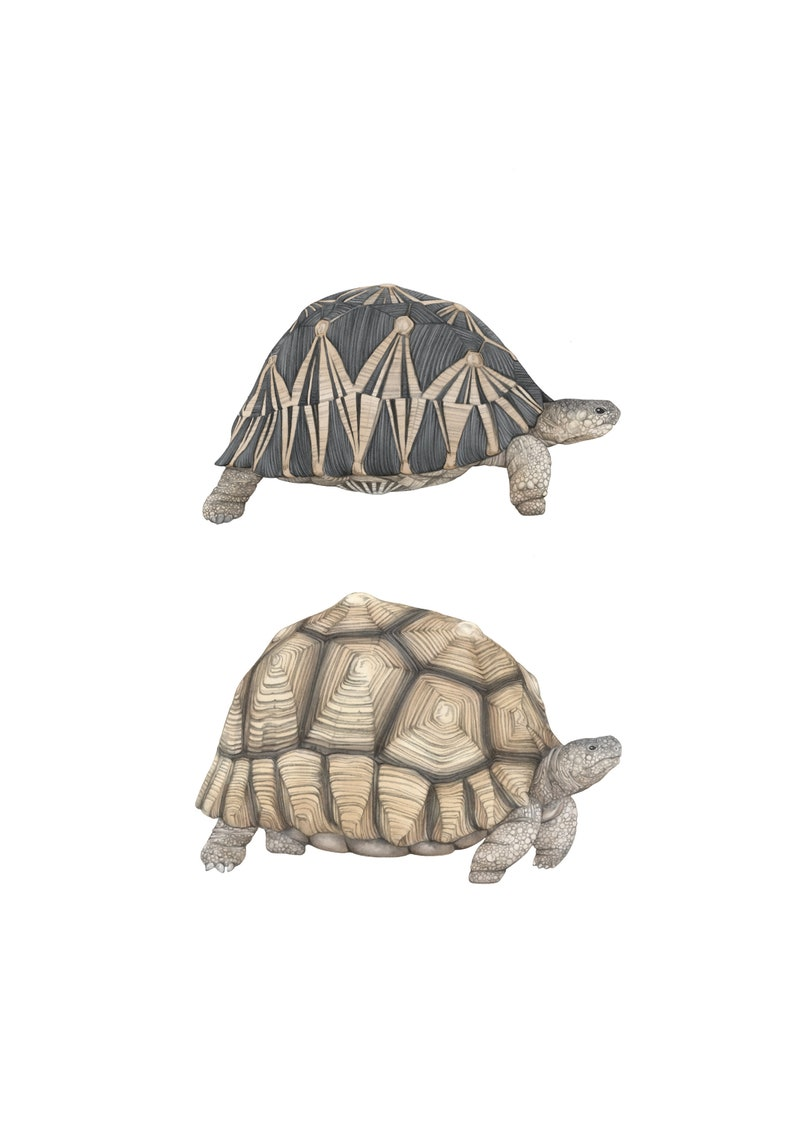 Tortoise species a4 illustration print astrochelys genus pencil drawing artwork endangered wildlife wall art animal nature giclee print