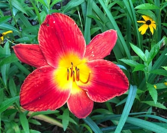 Daylily 'Chicago Ruby' 6 Seeds