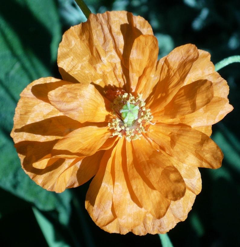 Papaver rupifragum Spanish Poppy 100 Seeds image 0