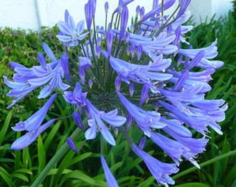 Agapanthus orientalis (Lily of the Nile) 25 Seeds