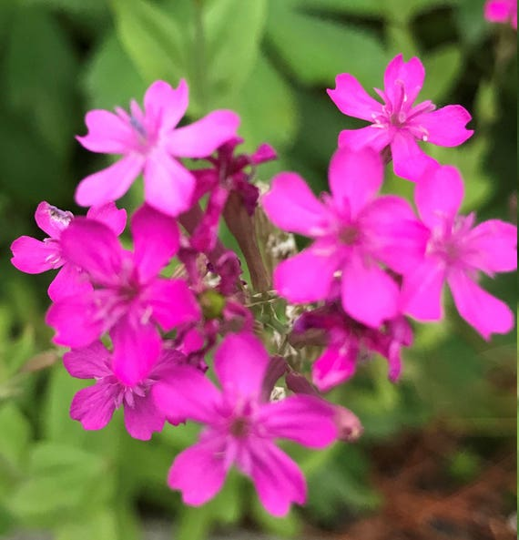 Lychnis Alpina 50 Seeds