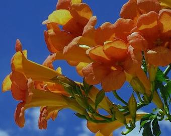 Tecoma stans (Orange Bells) 20 Seeds