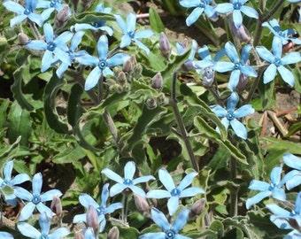 Tweedia caerulea (Blue Milkweed) 10 Seeds