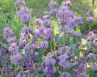 Phlomis cashmeriana (Kashmir Sage) 10 Seeds