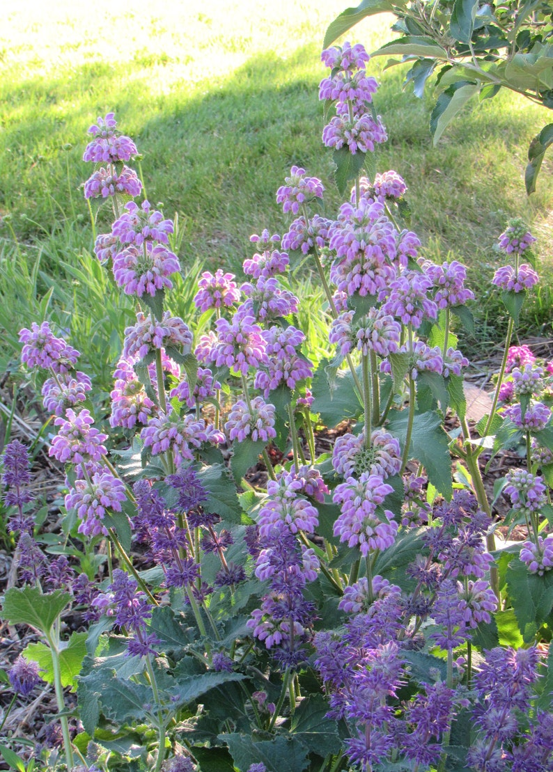 Phlomis cashmeriana Kashmir Sage 10 Seeds image 0