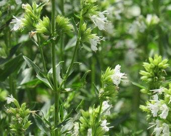 Hyssopus officinalis 'Nectar White Hyssop' 30 Seeds