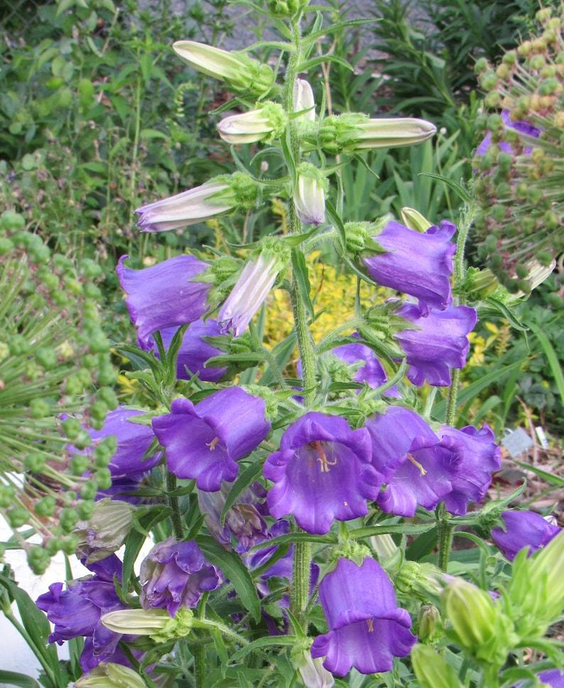 Campanula medium Canterbury Bells 200 Seeds image 0