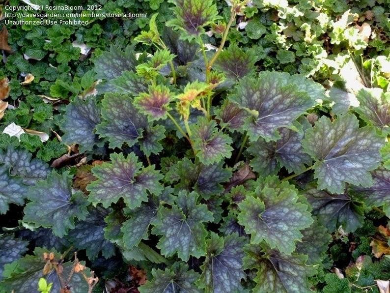 Heuchera americana 'Marvelous Marble' 150 seeds image 0