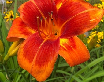 Daylily 'Outrageous' 6 Seeds