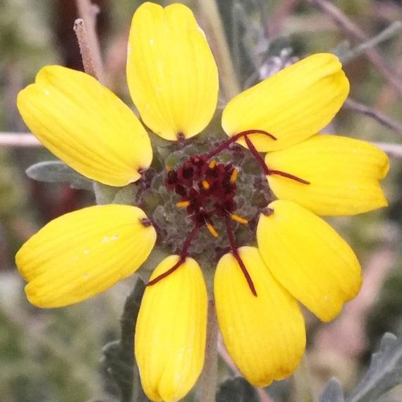Berlandiera lyrata Chocolate Daisy 15 Seeds