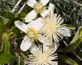 Clematis lasiantha 'Pipestem Clematis' 15+ Seeds