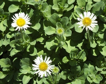 Erigeron (Seaside Daisy) 50+ Seeds
