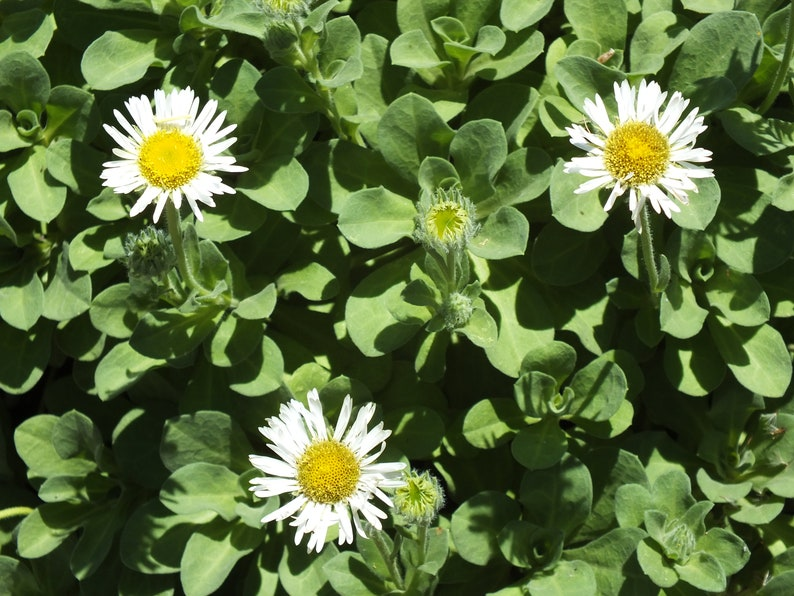Erigeron glaucus Seaside Daisy 50 Seeds image 0