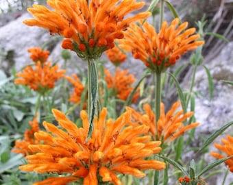 """Leonotis leonurus """"Lion's Tail"""" 25 seeds"""