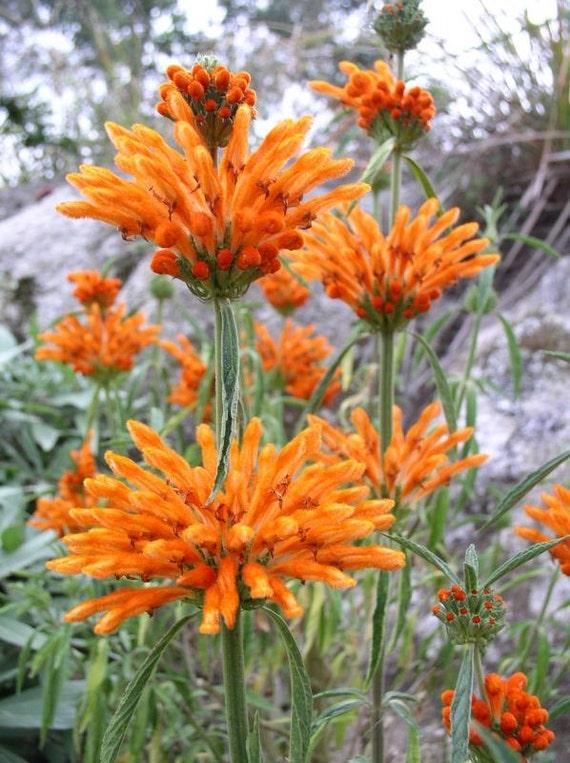 50 seed Orange Lion/'s Tail Leonotis Leonurus