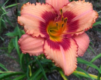 Daylily 'Dan Mahoney' 6 Seeds