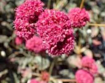 Eriogonum grande rebescens (Red Buckwheat) 50+ Seeds
