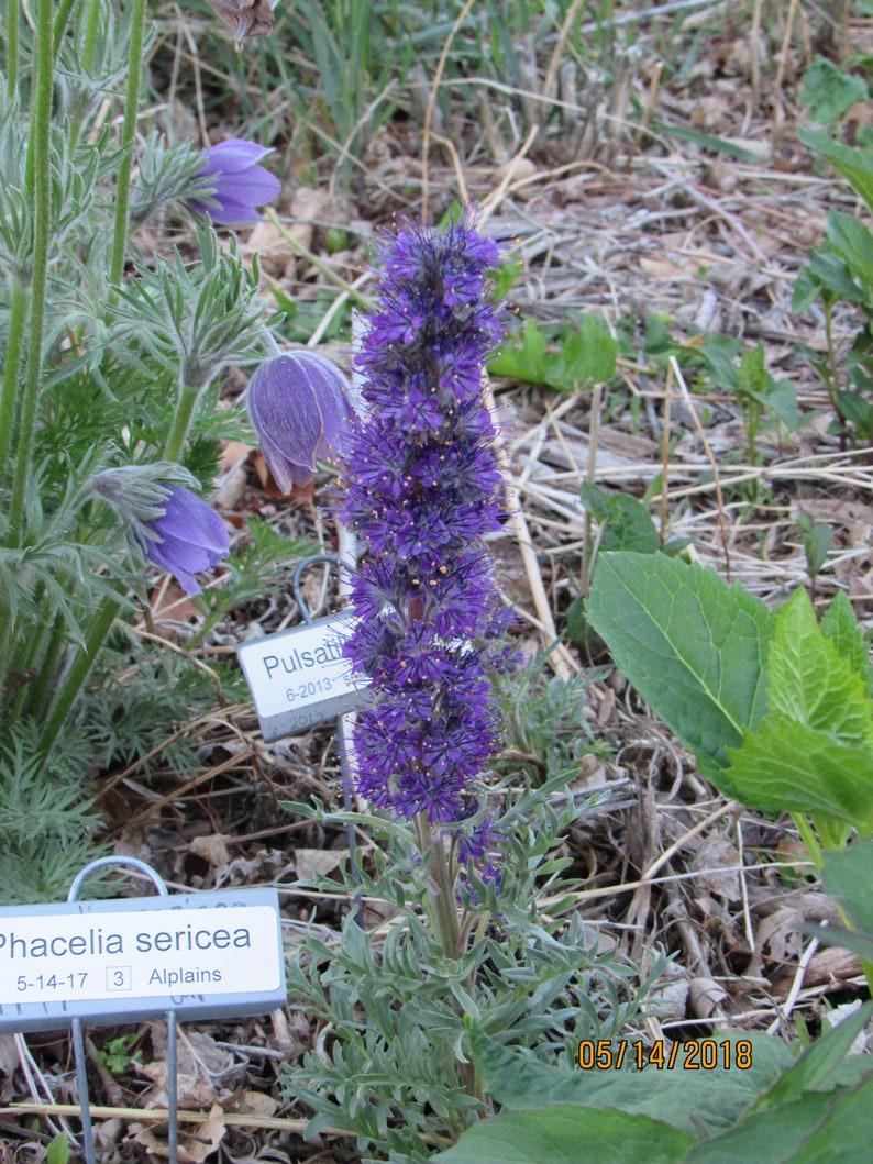 Phacelia sericea Silky Phacelia 50 Seeds image 0