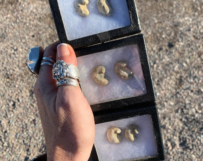 Devils Toenails // Texas Fossil Kit // Gryphea // Fossil // Self Collected