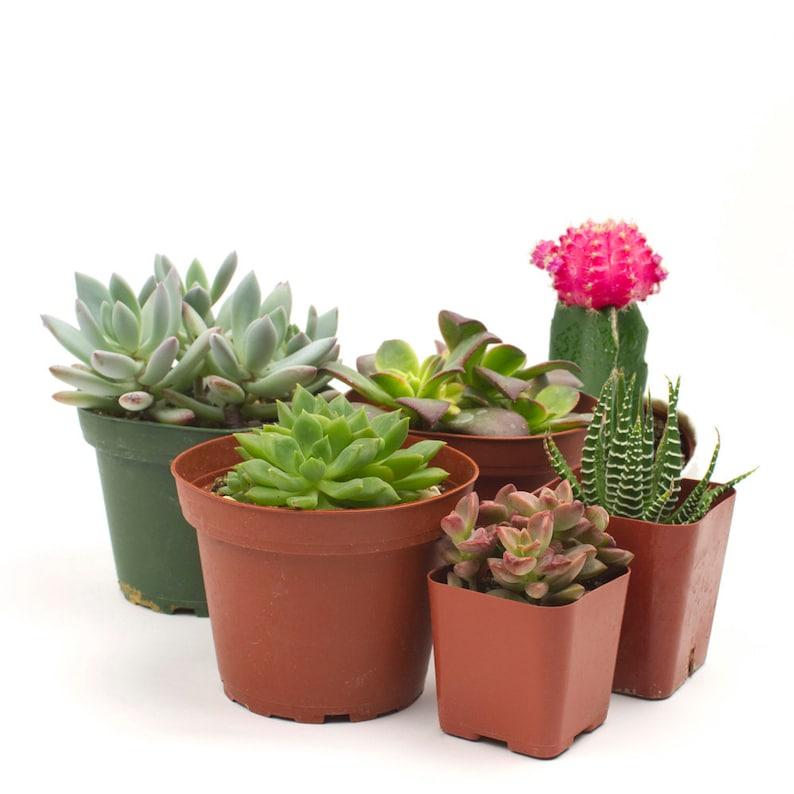 The Succulent Six Pack Cacti Succulent Arrangement For Your Etsy