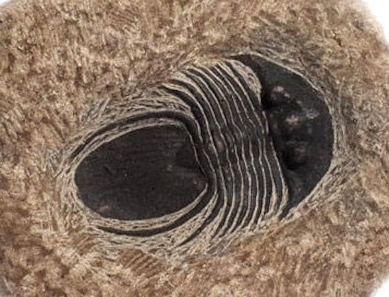 Cabinet Specimen Display Fossils Home /& Living Trilobite Home Decor Rare Fossils Fossils Home Decor Trilobite Trilobite Fossil