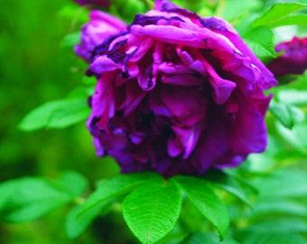 Print of a Purple Rose