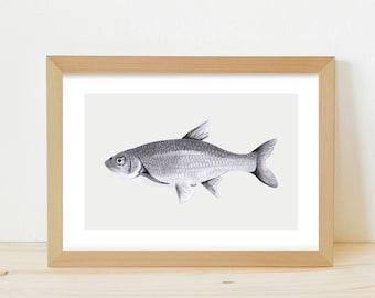 fish illustration, fish print, fish drawing, greylead fish, greylead drawing, animal illustration, animal drawing, realistic fish drawing